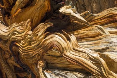 Detail of Trunk of a Fallen Foxtail Pine, Pinus Balfouriana, Near Muir Lake by Macduff Everton