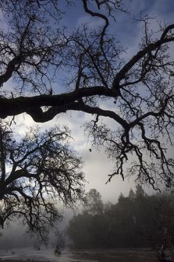 Early Morning Fog in an Oak Woodland by the Nacimiento River by Macduff Everton