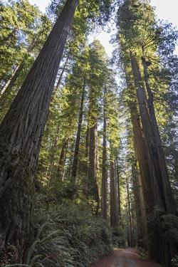 Giant Redwood Trees Tower over a Dirt Road in Stout Grove by Macduff Everton