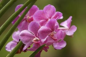 Pink Orchid Blossoms by Macduff Everton