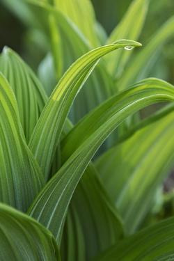 Water Drop on Green False Hellebore, Veratrum Viride, Leaf by Macduff Everton