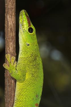 Madagascar Giant Day Gecko (Phelsuma Madagascariensis Grandis), Madagascar, Africa by G &