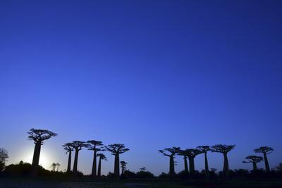 https://imgc.allpostersimages.com/img/posters/madagascar-morondava-baobab-alley-adansonia-grandidieri-at-sunset_u-L-PU3FA90.jpg?p=0