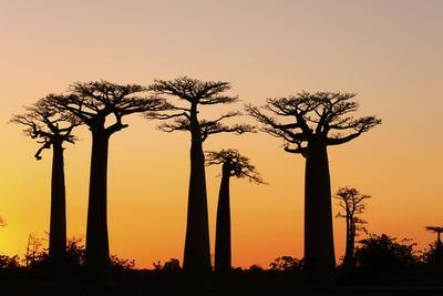 https://imgc.allpostersimages.com/img/posters/madagascar-morondava-baobab-alley-adansonia-grandidieri-at-sunset_u-L-PU3FB30.jpg?p=0