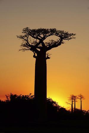 https://imgc.allpostersimages.com/img/posters/madagascar-morondava-baobab-alley-adansonia-grandidieri-at-sunset_u-L-PU3FBI0.jpg?p=0