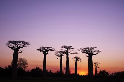 https://imgc.allpostersimages.com/img/posters/madagascar-morondava-baobab-alley-adansonia-grandidieri-at-sunset_u-L-PU3FBX0.jpg?p=0
