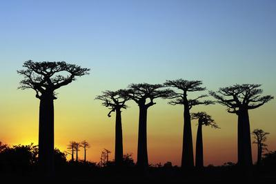 https://imgc.allpostersimages.com/img/posters/madagascar-morondava-baobab-alley-adansonia-grandidieri-at-sunset_u-L-PU3FCC0.jpg?p=0