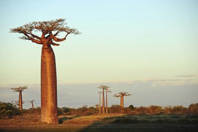 https://imgc.allpostersimages.com/img/posters/madagascar-morondava-baobab-alley-adansonia-grandidieri-at-sunset_u-L-PU3FCR0.jpg?p=0