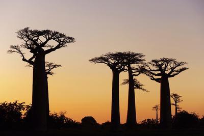 https://imgc.allpostersimages.com/img/posters/madagascar-morondava-baobab-alley-adansonia-grandidieri-at-sunset_u-L-PU3G1I0.jpg?artPerspective=n