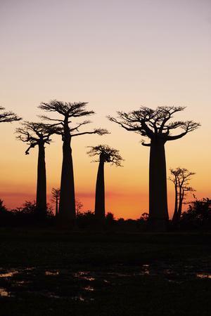 https://imgc.allpostersimages.com/img/posters/madagascar-morondava-baobab-alley-adansonia-grandidieri-at-sunset_u-L-PU3G1X0.jpg?p=0