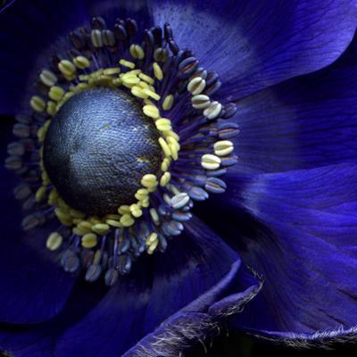 Anemone by Magda Indigo