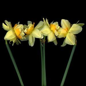 Double daffodils II by Magda Indigo