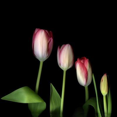 Family of Cut Tulips (Tulipa) on Black Background by Magda Indigo