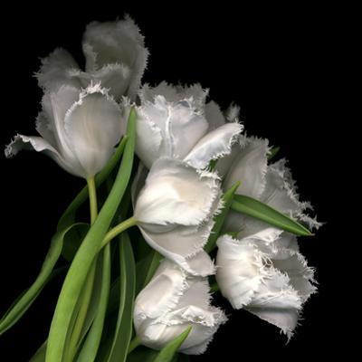 Frayed Tulips