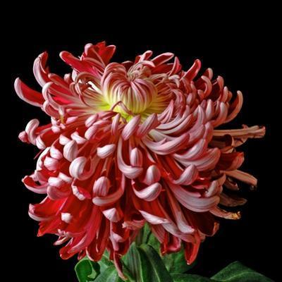 Pink Chrysanthemum 3 by Magda Indigo