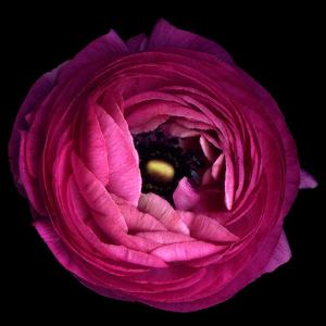 Pink Ranunculus by Magda Indigo