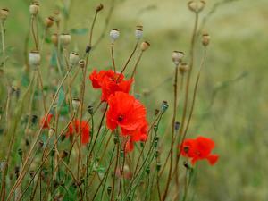 Poppies on Flanders Fields by Magda Indigo