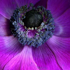 Purple Anemones by Magda Indigo
