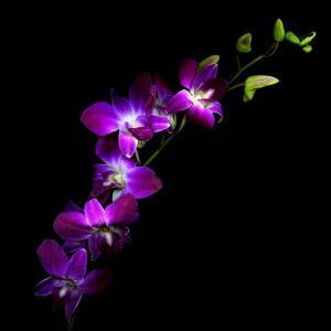Purple Dendrobium Orchids by Magda Indigo