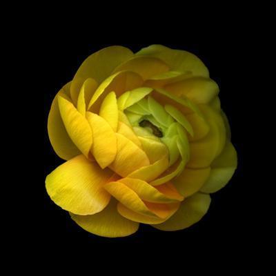 Ranunculus Close-Up by Magda Indigo