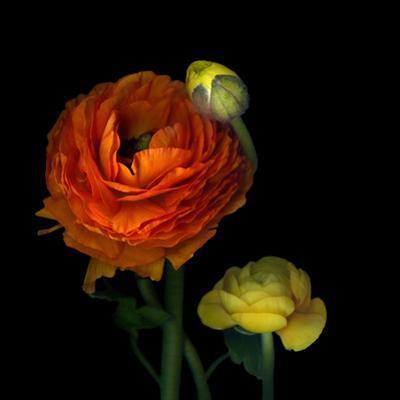 Ranunculus Orange by Magda Indigo