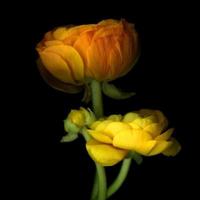 Ranunculus Yellow and Orange by Magda Indigo