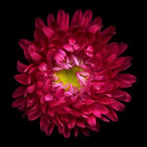 Red Aster II by Magda Indigo