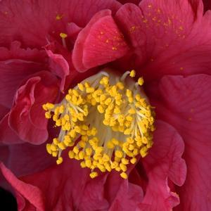 Red Camelia by Magda Indigo