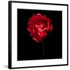 Red Ranunculus by Magda Indigo
