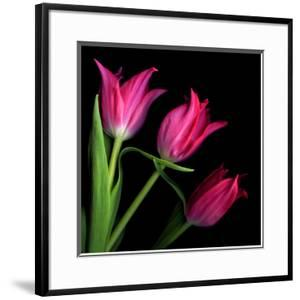 Star Tulips by Magda Indigo