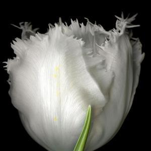 Tulip Close-up by Magda Indigo
