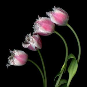 Tulip Frill by Magda Indigo