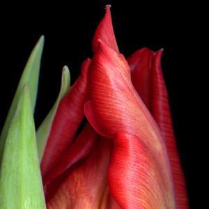 \tulip by Magda Indigo