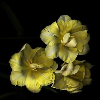Tulips Cheery Trilogy by Magda Indigo