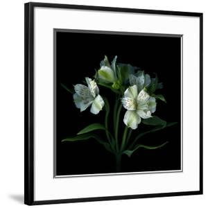 White Alstroemeria by Magda Indigo