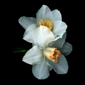 White Daffodils by Magda Indigo