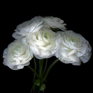 White Ranunculus Bouquet by Magda Indigo