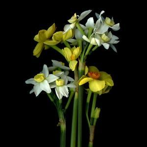 Yellow and White Daffodil Bouquet by Magda Indigo