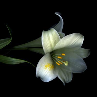 Yellow Dusted Lily by Magda Indigo