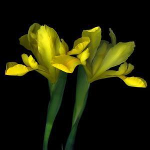 Yellow Iris by Magda Indigo
