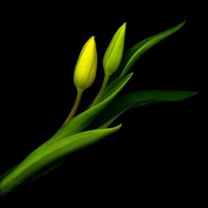 Yellow Tulip by Magda Indigo