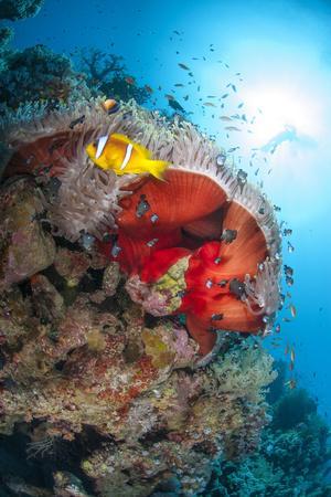 https://imgc.allpostersimages.com/img/posters/magnificent-anemone-heteractis-magnifica-ras-mohammed-nat-l-pk-off-sharm-el-sheikh-egypt_u-L-PIAXSH0.jpg?p=0