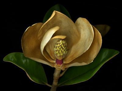 Magnolia Flower Cross Section, Studio Shot
