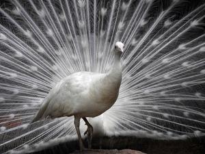 APTOPIX India White Peacock by Mahesh Kumar A