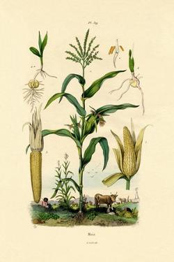Maize, 1833-39