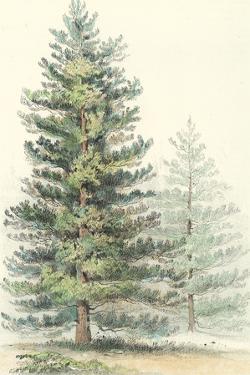 Majestic Pine I