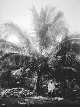 Making Copra, Solomon Islands, Fiji, 1905