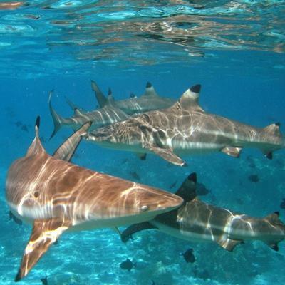 Black Tipped Sharks. Moorea by Mako photo