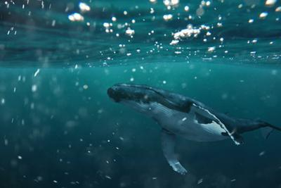 A Whale under the Water - the Majestic Sea Animal Floats in the Water by Makov Nikolay