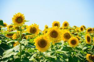 Field of Beautiful Bright Sunflowers against the Blue Sky. Summer Flowers by Maksym Protsenko
